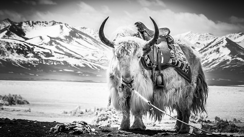 .portrait of a yak. | by Shirren Lim Photography