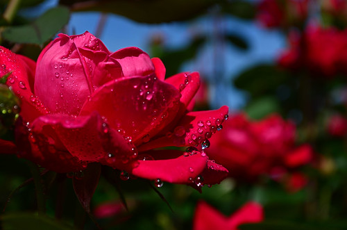 Red rose with droplets | by jscollins7
