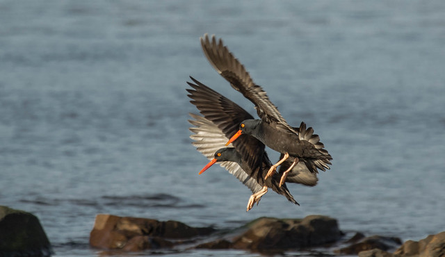 oyster catchers....in a place that I have never seen them...