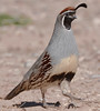 male Gambel's Quail by NatureNM