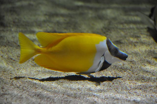 Fox-face Rabbitfish