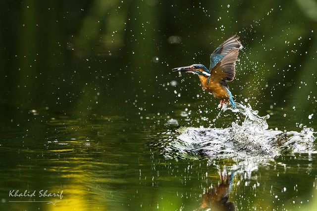 Common Kingfisher (Alcedo atthis)  普通翠鸟 pǔ tōng cuì niǎo