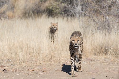 africa cheetah nature 2016 animal cat namibia acinonyxjubatus felidae windhoek khomas