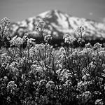 菜の花・鳥海山