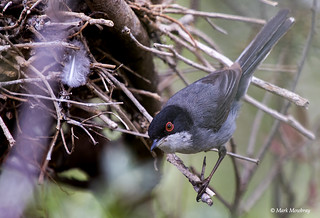 Sardinian warbler at its nest at Paphos zoo