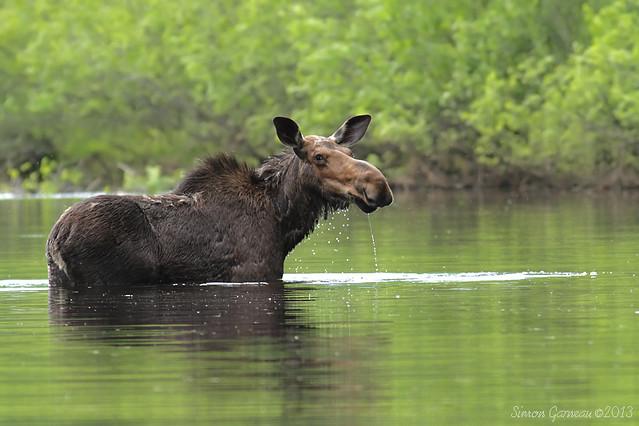 IMG_4096 Orignal / Moose