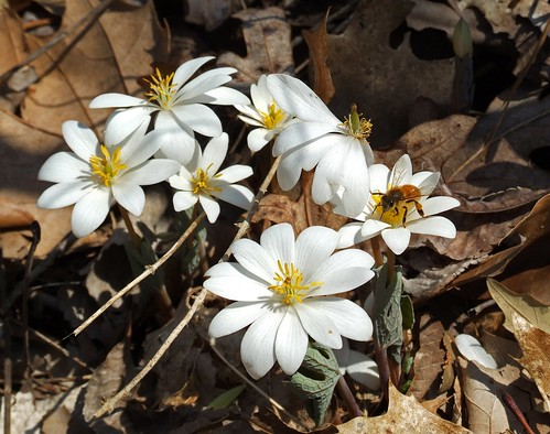 PC0105 Bloodwort | by mccormacka