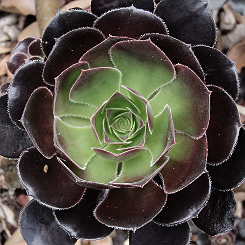 Aeonium velour | by LSydney