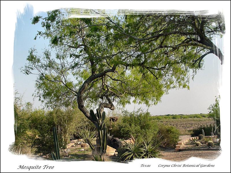 07664-Mesquite Tree