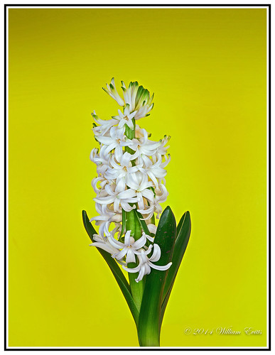 flowers plants nature delicate botany hyacinth