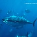 WWF ‪#‎Picoftheweek‬: Pacific bluefin tuna schooling, Mexico by WWF - Global Photo Network