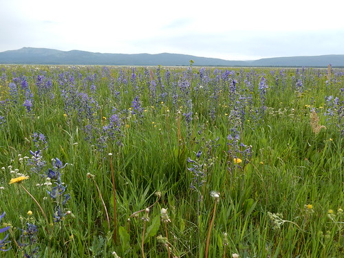native meadow idaho herb perennial liliaceae islandpark camassiaquamash smallcamas