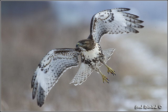 Red-tailed Hawk (20130202-0500)