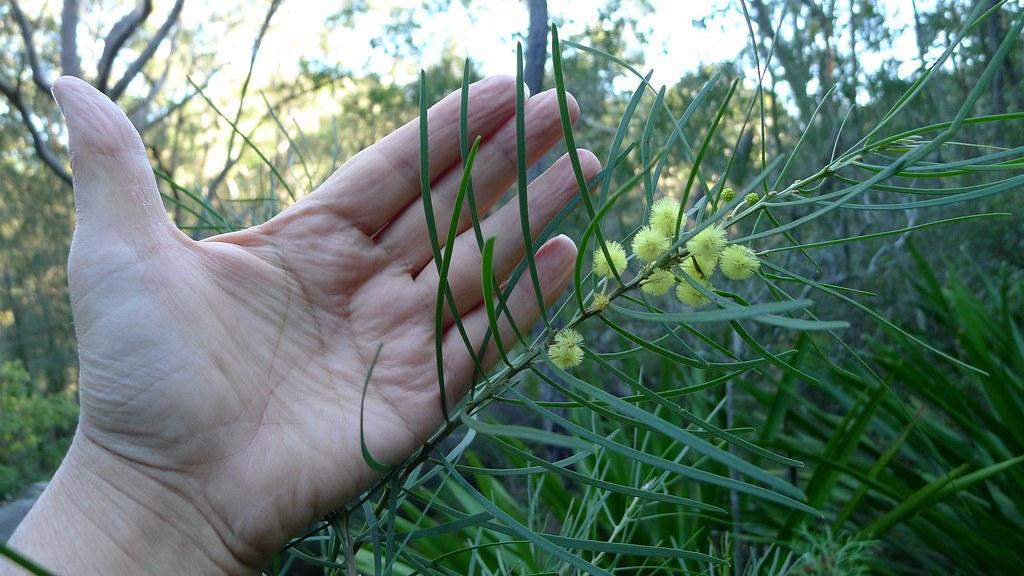 Acacia elongata leaves about 12 cm