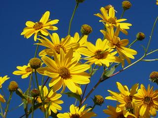 Fiori Selvatici Gialli.I Fiori Spontanei Di Acuto Fr I Fiori Gialli Del Topin Flickr