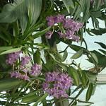 Orchids 095