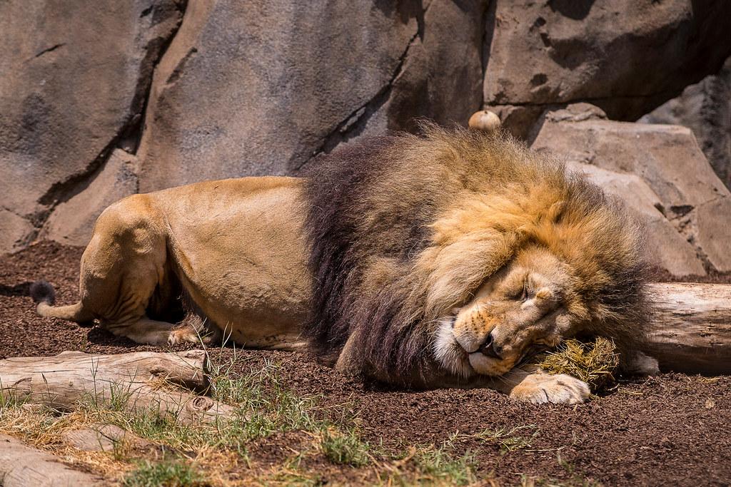 Lion Enrichment San Diego Zoo Flickr