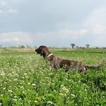 IALA DI VALTRESINARO - In ferma su coppia di starne in campo di tipica erbetta.