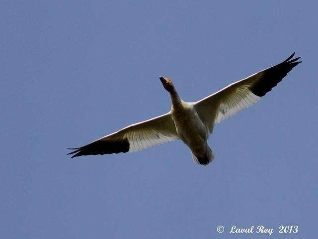 1.00249 Oie des neiges / Chen caerulescens atlantica / Snow Goose