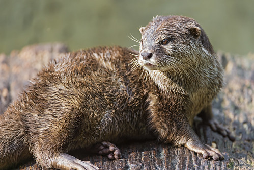 Lying otter looking back | by Tambako the Jaguar