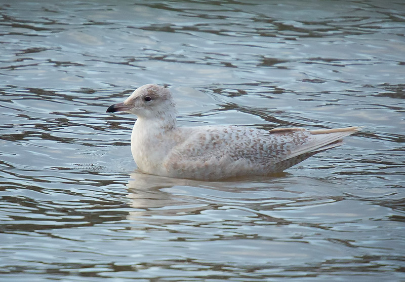 Iceland Gull - distant
