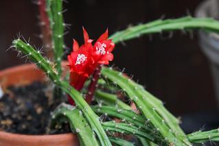 Aporocactus 'Brilliant'