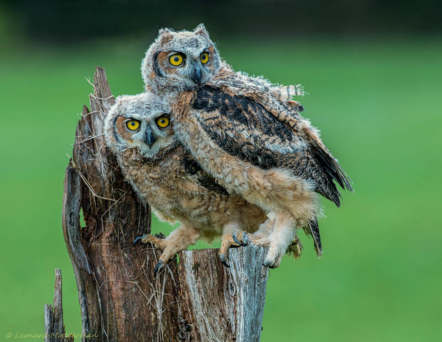Pair of Great Horned Owlets
