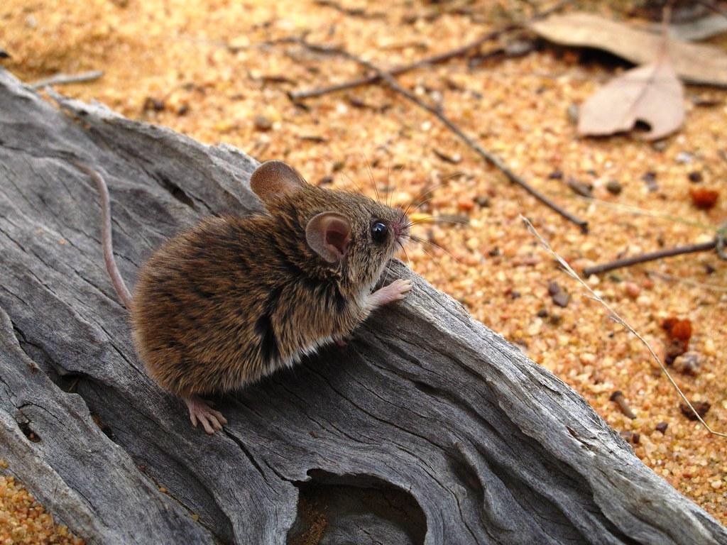 Pilliga Mouse