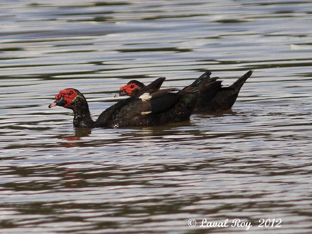 1.00323 Canard musqué / Cairina moschata / Muscovy Duck