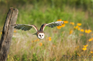 Barn owl in flight | by Rob Lonsberry Photography