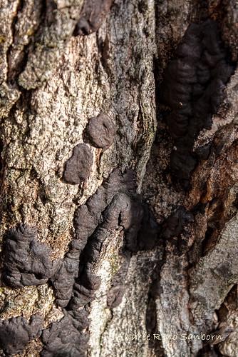 vermont unitedstates barton acersaccharum sugarmapletree hypoxylontruncatum