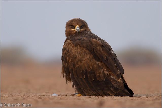 Steppe Eagle #75