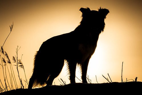 Shasta Border Collie | by haroldmeerveld