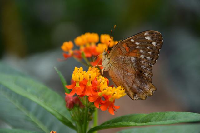 Brown Peacock Butterfly (Anartia amathea)
