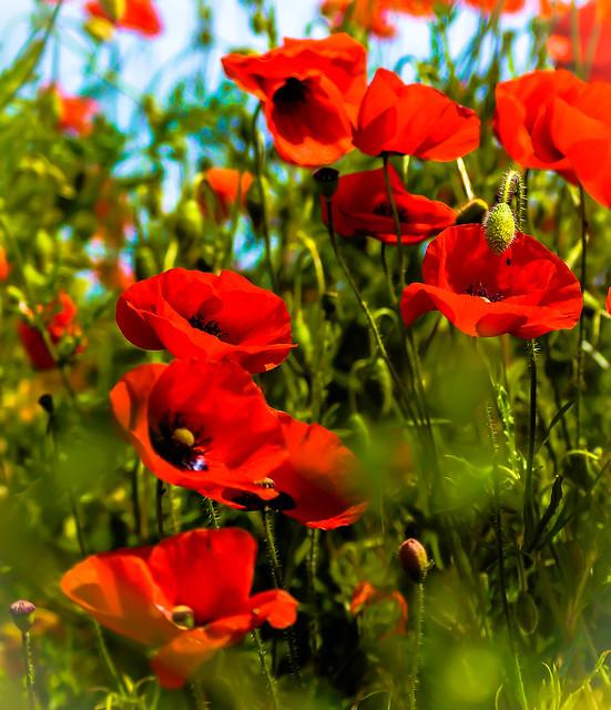 In a poppy field