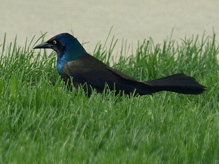 Common Grackle (Quiscalus quiscula) | by Stbanpiro