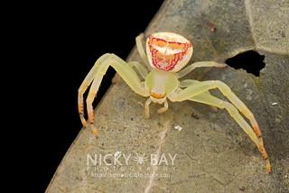 """Crab Spider (""""Philodamia"""" semicincta) - DSC_7286"""