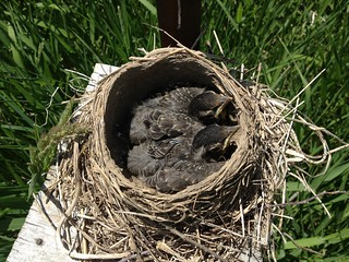 American Robin chicks | by Liza Barney