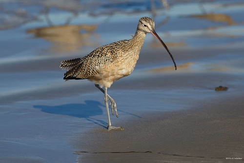 Long-billed Curlew (Numenius americanus), Morro Bay CA IMG_6269 | by Hart Walter