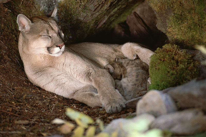 Wildlife in British Columbia, Canada: Cougar
