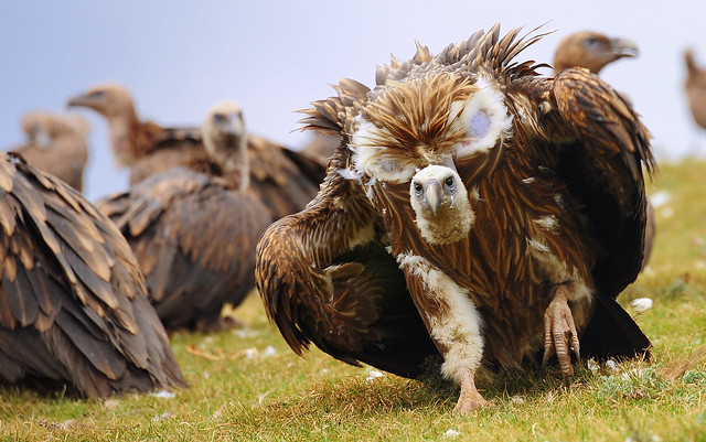 Old World vulture with threatening posture, Tibet 2013