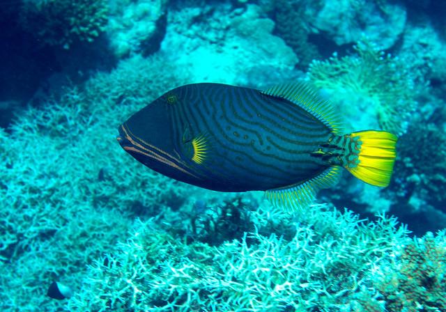 Orange-striped Triggerfish, (Explored) Balistapus undulatus, Shark Observatory, Ras Muhammad, Red Sea