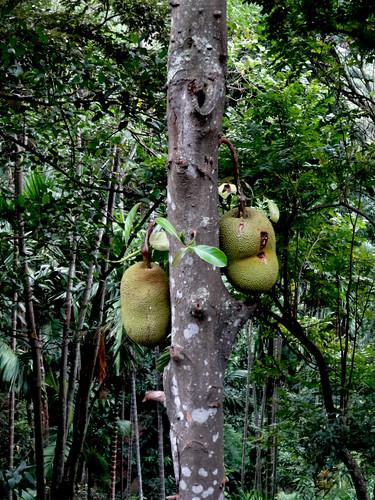 Sri Lanka. Ella. Jackfruit.