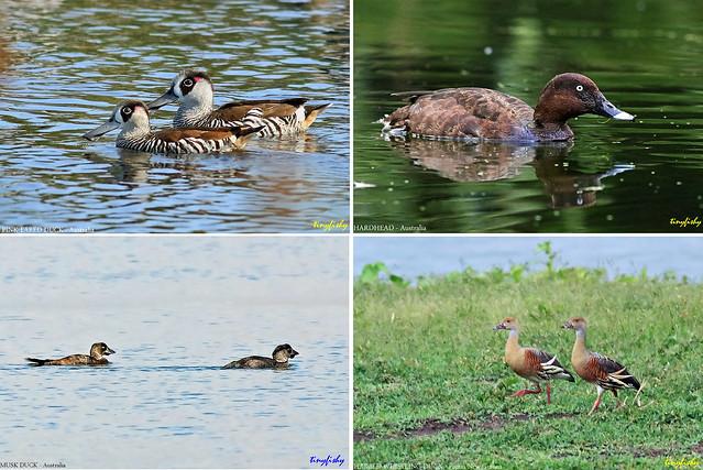 (No Count) Ducks