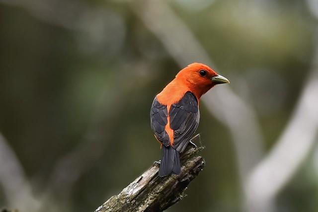 Taranga écarlate - Scarlet tanager -  Tángara rojinegra
