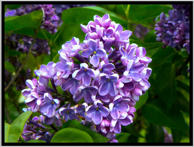 Lilac Festival ~ Rochester NY