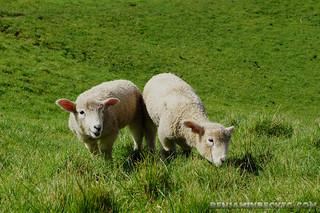 Sheeps | by Benjamin Beck