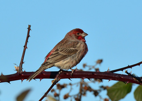 House Finch (Haemorhous mexicanus) male | by R-Gasman