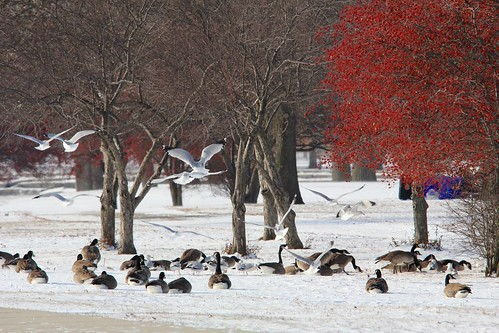 Red, white, and brown in midwinter | by leafwarbler