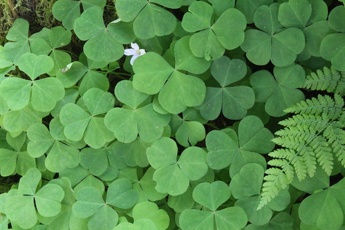 Oxalis oregana -- redwood sorrel | by steven.k.sullivan